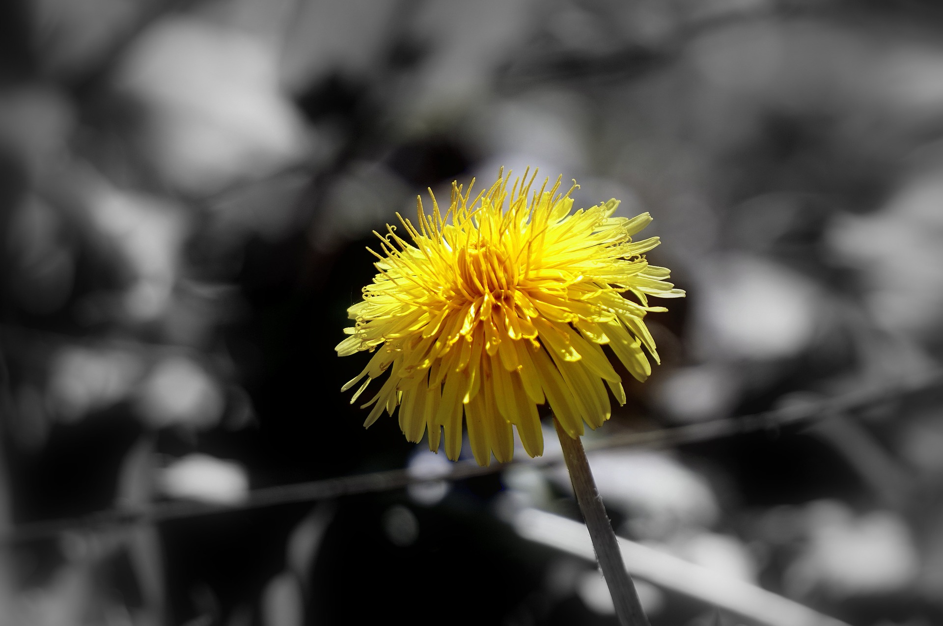 dandelion-1337607_1920